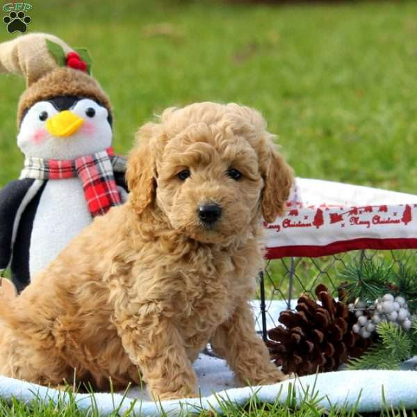 Louis, Mini Goldendoodle Puppy