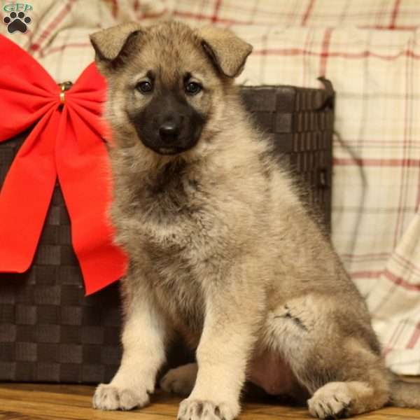 Lucy, German Shepherd Puppy