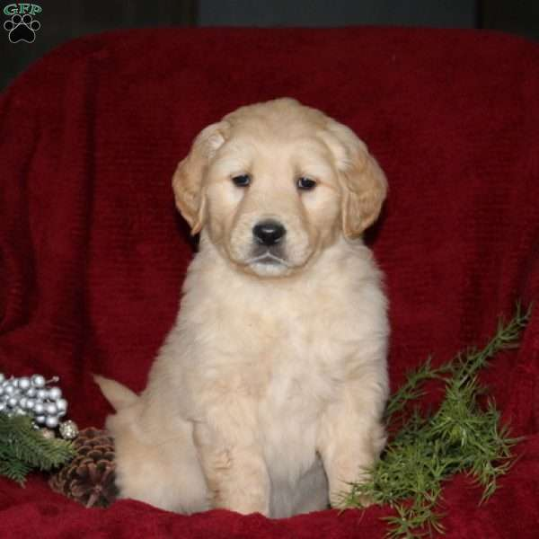 Mahlon, Golden Retriever Puppy