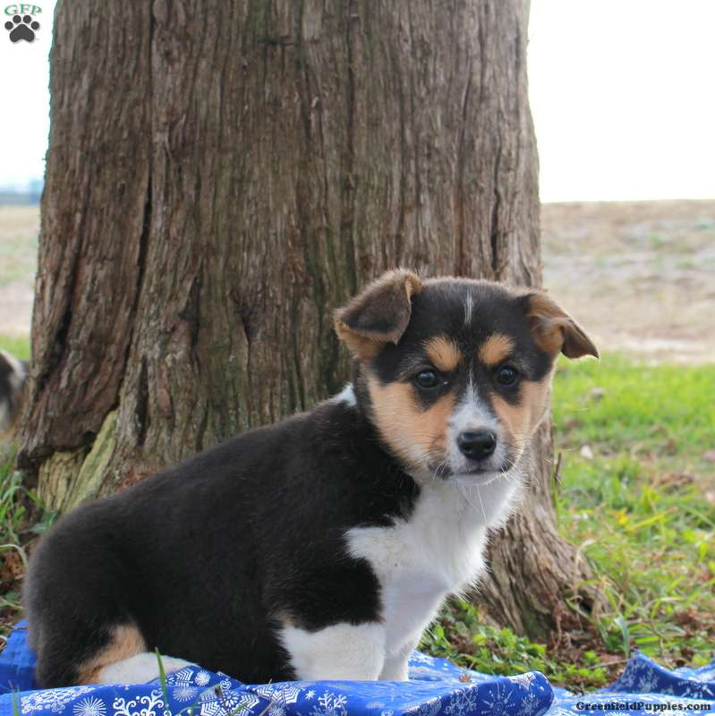 Mandy Pembroke Welsh Corgi Puppy For Sale In Pennsylvania