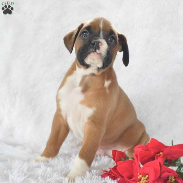 Mickey, Boxer Puppy