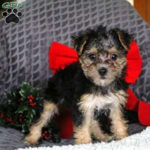 Yorkie Mix Puppies For Sale Yorkie Mix Breed Info Greenfield Puppies