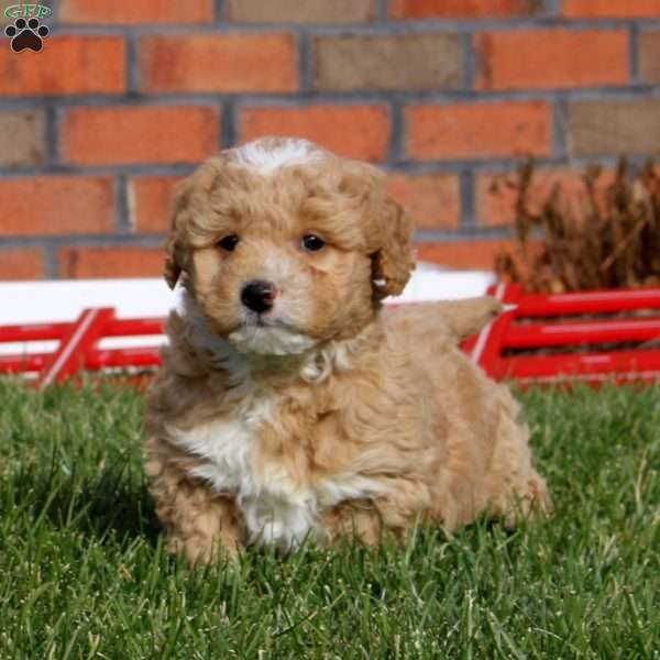 Moe – F1B, Mini Goldendoodle Puppy