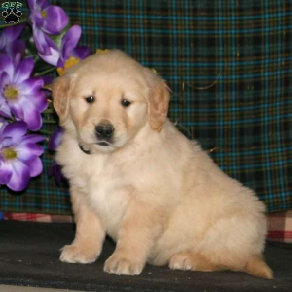 Mojo, Golden Retriever Puppy