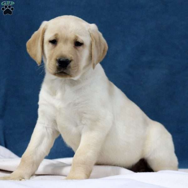 Molly, Yellow Labrador Retriever Puppy
