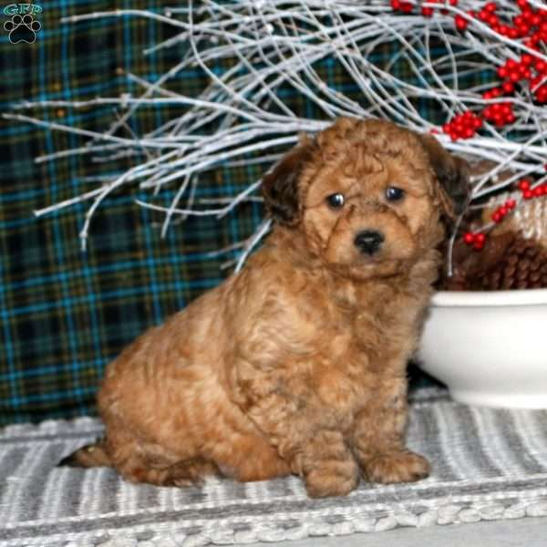 Moses – F1B, Mini Goldendoodle Puppy