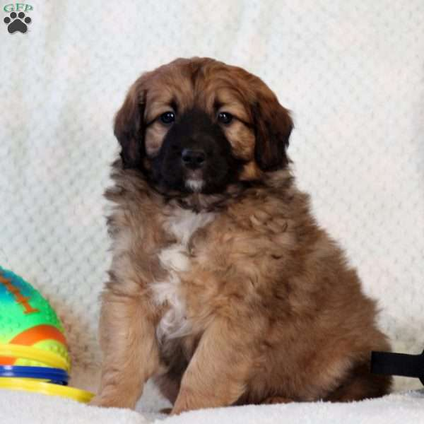Nathan Miniature Aussiedoodle Puppy For Sale In Pennsylvania