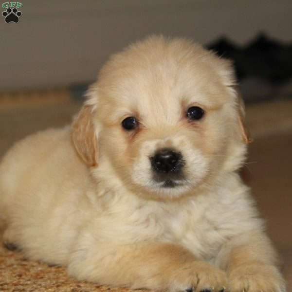 Nicholas, Golden Retriever Puppy