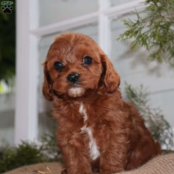 Parker Cavapoo Puppy For Sale In New Jersey