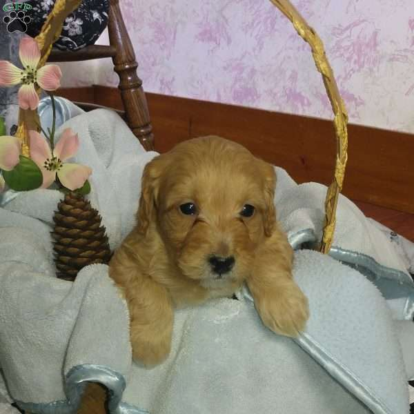 Parot, Mini Goldendoodle Puppy