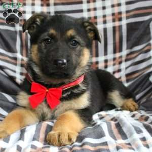 Pearl, German Shepherd Puppy