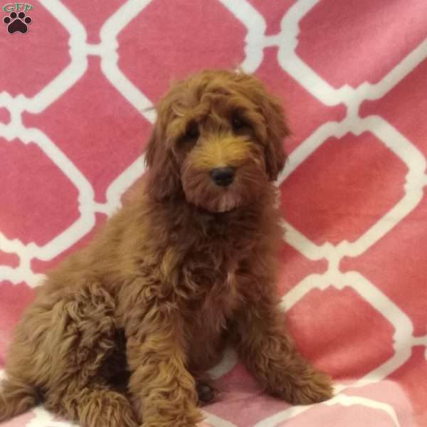 Petunia, Mini Goldendoodle Puppy