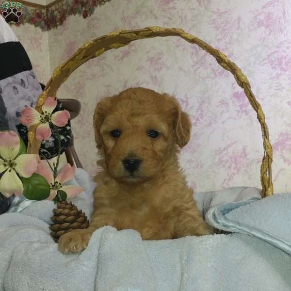 Phantom, Mini Goldendoodle Puppy