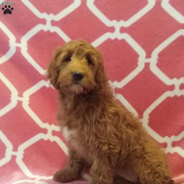 Primrose, Mini Goldendoodle Puppy