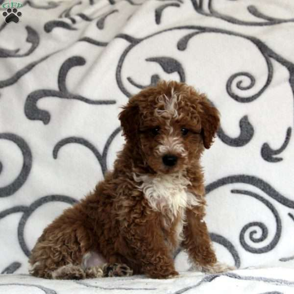 Hero, Mini Goldendoodle Puppy