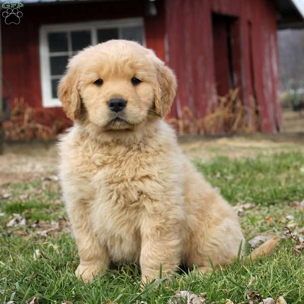 Randell, Golden Retriever Puppy