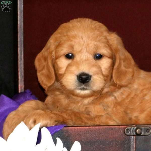 Raymond, Mini Goldendoodle Puppy