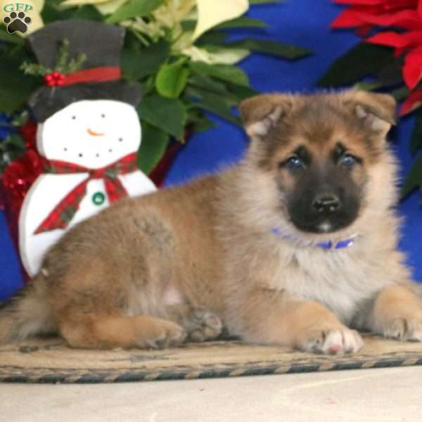Reece, German Shepherd Puppy