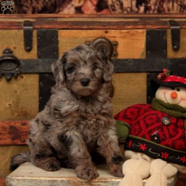 Reeses-F1B, Mini Goldendoodle Puppy