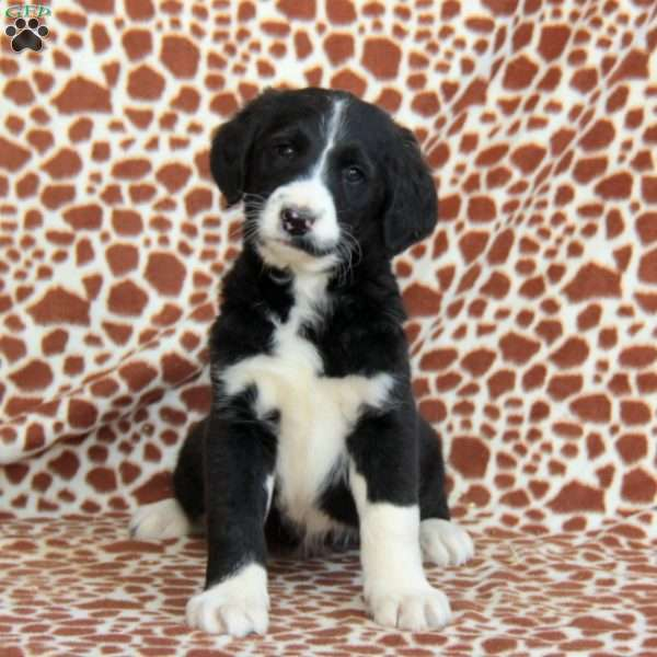 Rex - Greater Swiss Mountain Doodle Puppy For Sale in ...