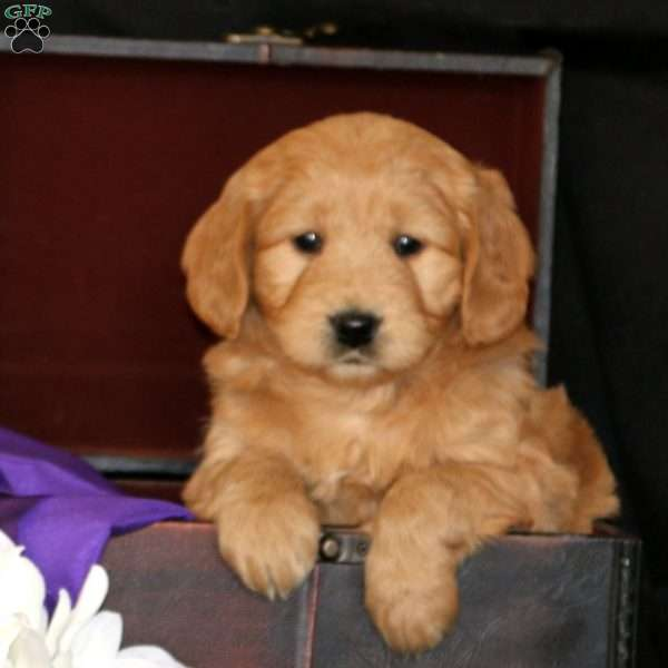 Rhianna, Mini Goldendoodle Puppy
