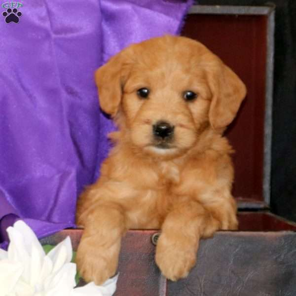 Rosanne, Mini Goldendoodle Puppy