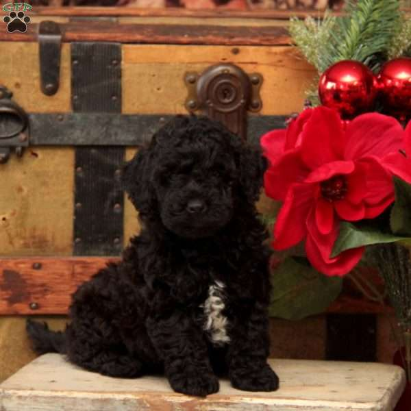 Rosie-F1B, Mini Goldendoodle Puppy