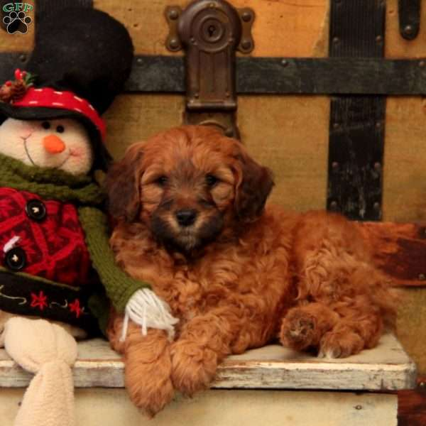 Ruby-F1B, Mini Goldendoodle Puppy