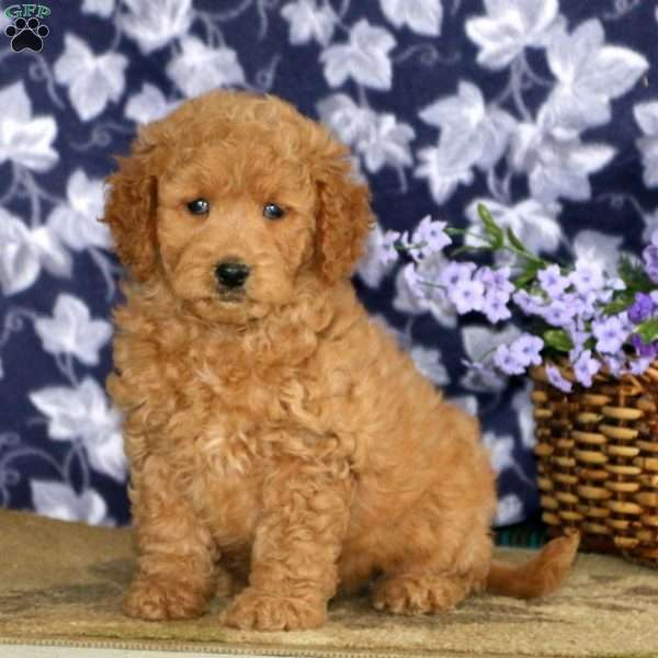 Sally, Mini Goldendoodle Puppy