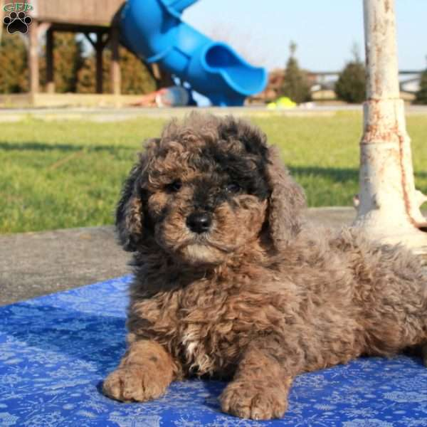 Sam, Mini Goldendoodle Puppy