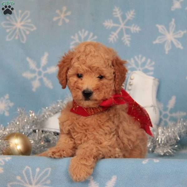 Sandtart-F1B, Mini Goldendoodle Puppy