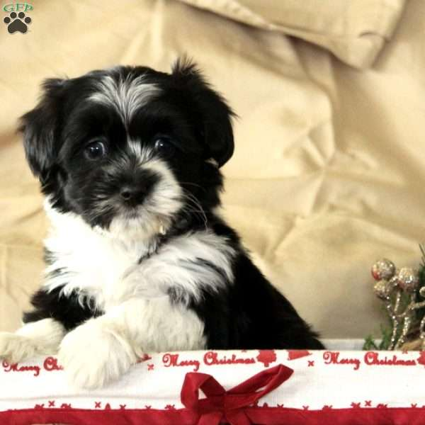 Scotty, Havanese Puppy