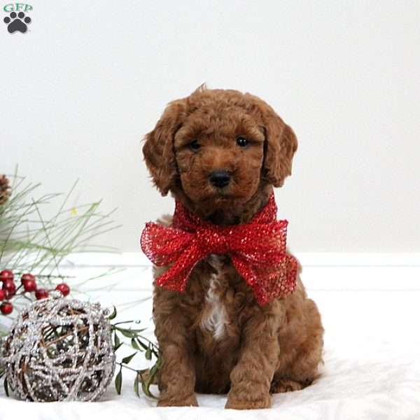 Scotty, Mini Goldendoodle Puppy