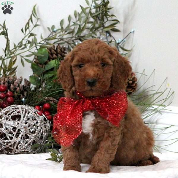 Seely, Mini Goldendoodle Puppy