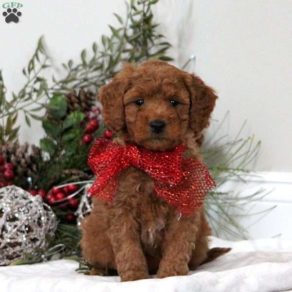 Sherman, Mini Goldendoodle Puppy