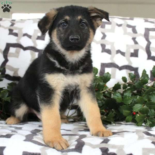 Smokey, German Shepherd Puppy