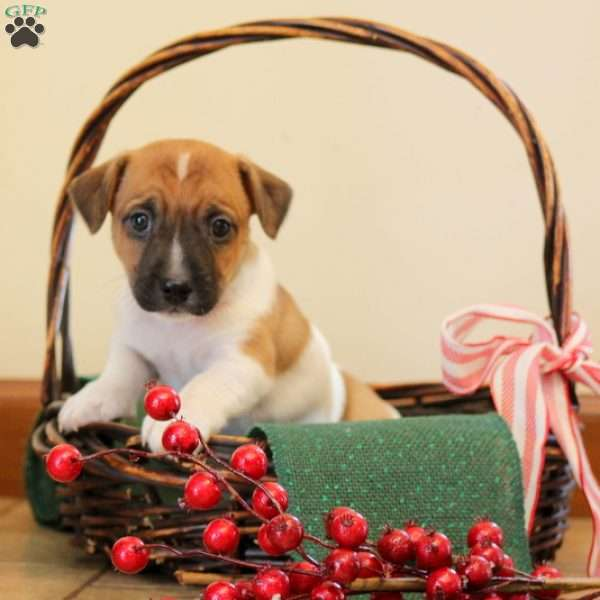 Sparky, Jack Russell Terrier Puppy