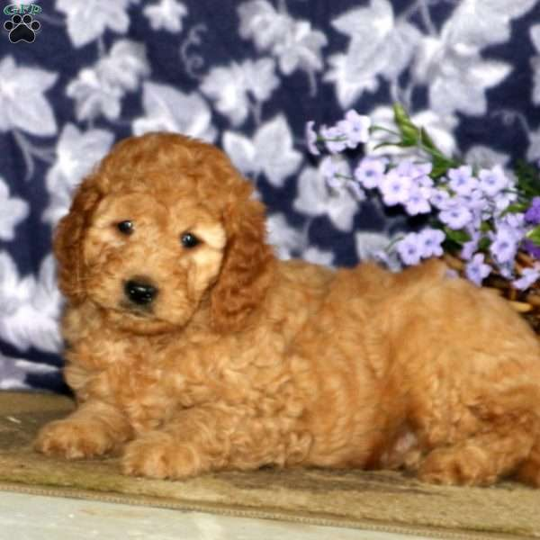 Spiffy, Mini Goldendoodle Puppy