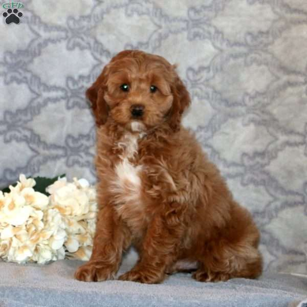 Sport, Cockapoo Puppy