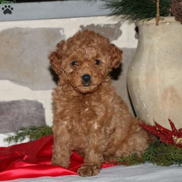 Tabitha, Mini Goldendoodle Puppy