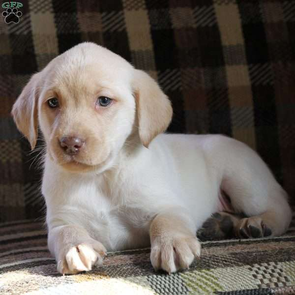 Tanner, Yellow Labrador Retriever Puppy
