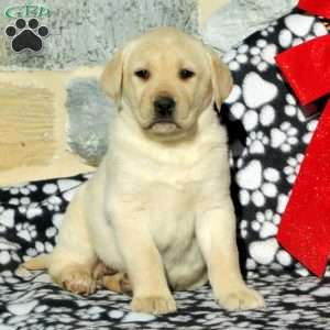 Taryn, Yellow Labrador Retriever Puppy