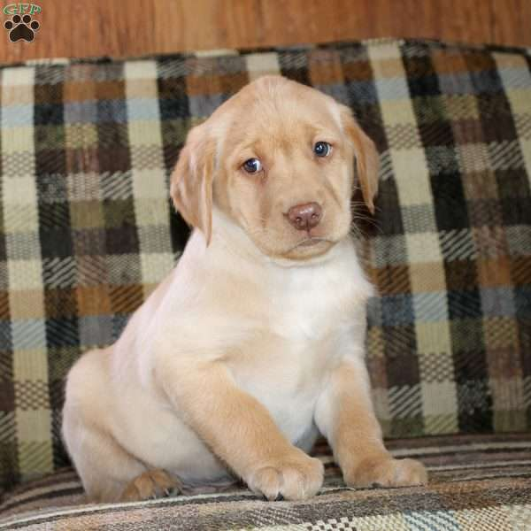 Tate, Yellow Labrador Retriever Puppy