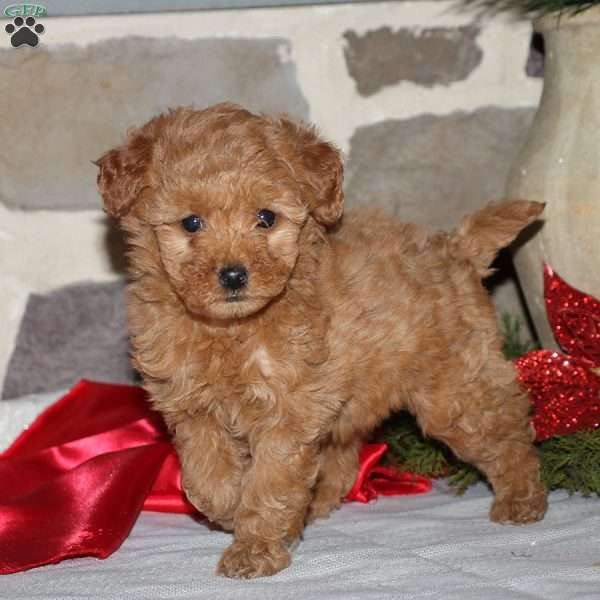 Tia, Mini Goldendoodle Puppy