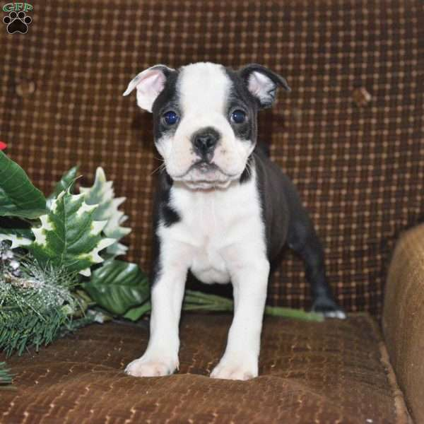 Toby Boston Terrier Puppy For Sale In Ohio