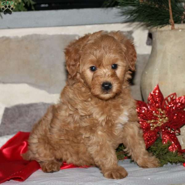 Trevor, Mini Goldendoodle Puppy