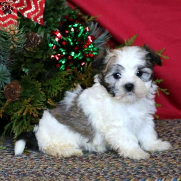 Tucker, Havanese Puppy