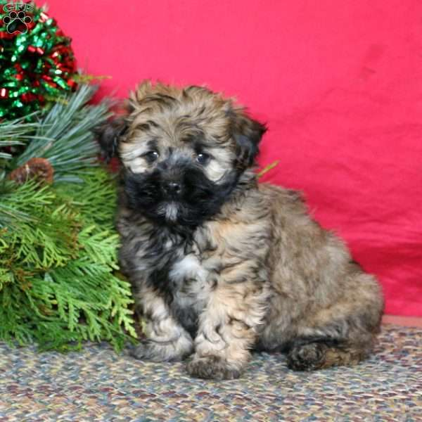 Tuffy, Havanese Puppy