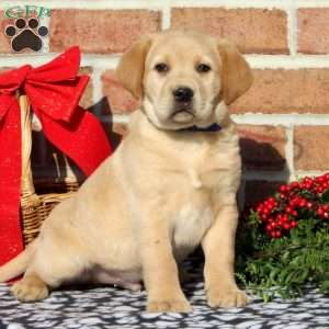 Tyler, Yellow Labrador Retriever Puppy