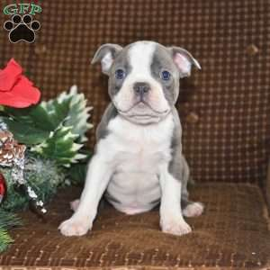 Boston Terrier Puppies For Sale Greenfield Puppies